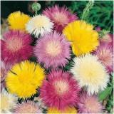 AMBERBOA MOSCHATA / pentru flori uscate iarna in vaza / 5 seminte pentru semanat