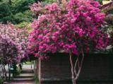LILIAC INDIAN - Lagerstroemia Indica MIX alb, roz , rosu - 20 seminte