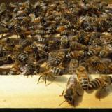 60 familii de albine cu posibiitate achizitie in rate egale