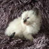 Purebred Lilac Lynx Point Ragdoll Kitten