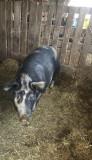 Porc 110-120kg