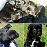Labrador de vanzare!, Pedigree
