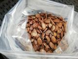 Seminte kaki Virginiana, cantitate + 50 seminte