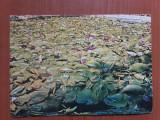 Baile Felix - Lacul cu lotusi - carte postala necirculata, Fotografie