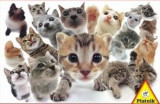 Puzzle Piatnik - 1000 de piese - Pisici