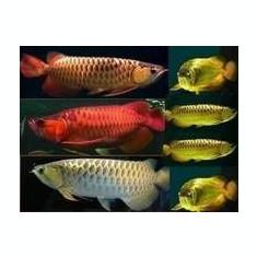 Arowana pește disponibile pe vânzare., Aquatic