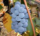Struguri pentru vin (nohan negru) bio