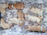 Pui de caine Labrador