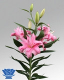 Bulbi =Crini Oriental parfumat dublu   -DIANTHA   cu 14 Ron/2buc