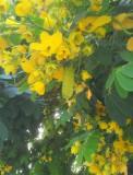 Sophora Xanthantha 50 seminte rare