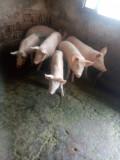 Vând șoldani de carne
