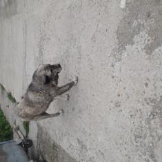 Ciobanesc de stână
