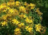 Sunatoare mare (Hypericum grandiflorum)