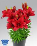 Bulbi =Crini asiatici   -TRENDY HAVANA   cu 7 Ron/2buc