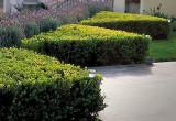 Salba vesnic verde (Euonymus japonicus)