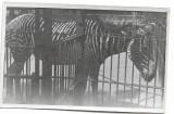D714 Zebra Viena Parcul Zoologic iunie 1945 militar roman front