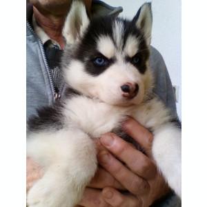 Husky siberian - ochii albastri