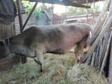Două vaci