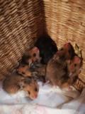 Donez pui hamsteri siberieni