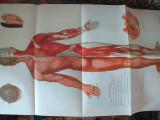 Acupunctura- 6 planse, manual 14 meridiane