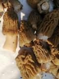 Ciuperci de primăvară Zbarciogi