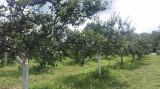 Vand tuica de prune, zona Danicei-Valcea