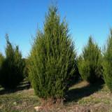 Ienupar de Virginia (Juniperus virginiana)