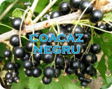 Coacaz negru gofert