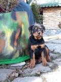 Pui Rottweiler