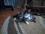 Cedez spre adopție doi pui de pisică.