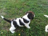 Beagle tricolori drăgălași