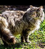 Vand pui pisica persana