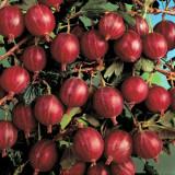 Agris rosu
