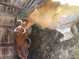 Vand  vaci