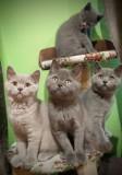 Pisici british shorthair, Royal Canin