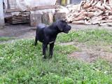 Mascul cane corso