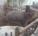 Porc de casa
