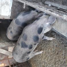 Porci