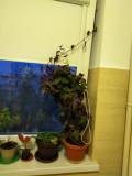Gynura aurantiaca in ghiveci (planta decorativa)