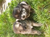Vând pui ciobănesc de Asia centrala cu lup