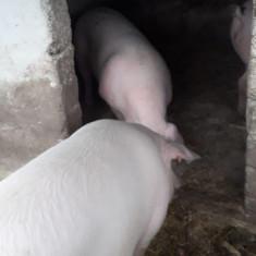 porci rasa de carne