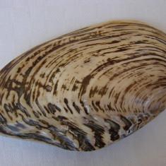 Impresionanta scoica de dimensiune mare 21,5 x 12 cm (2)