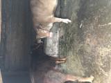 Vand vitele