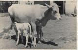 Fotografie lot 5 poze cu vaci de rasa poza veche interbelica