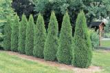 Tuia smarald (Thuja smaragd) 20-30 cm