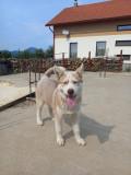 Vand Husky Siberian