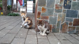 Ofer pui de pisica frumosi
