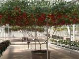 Seminte de rosii OCTOPUS TREE - 10 seminte pentru semanat