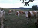 Vand vaci, juninci, tineret (femele) lichidare gospodarie/ferma