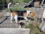 Pui beagle 6 saptamani vaccinati cu carnet, rasa pura